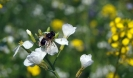 Blühwiese der Naturheilpraxis Tapken_14