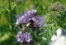 Blühwiese der Naturheilpraxis Tapken_15